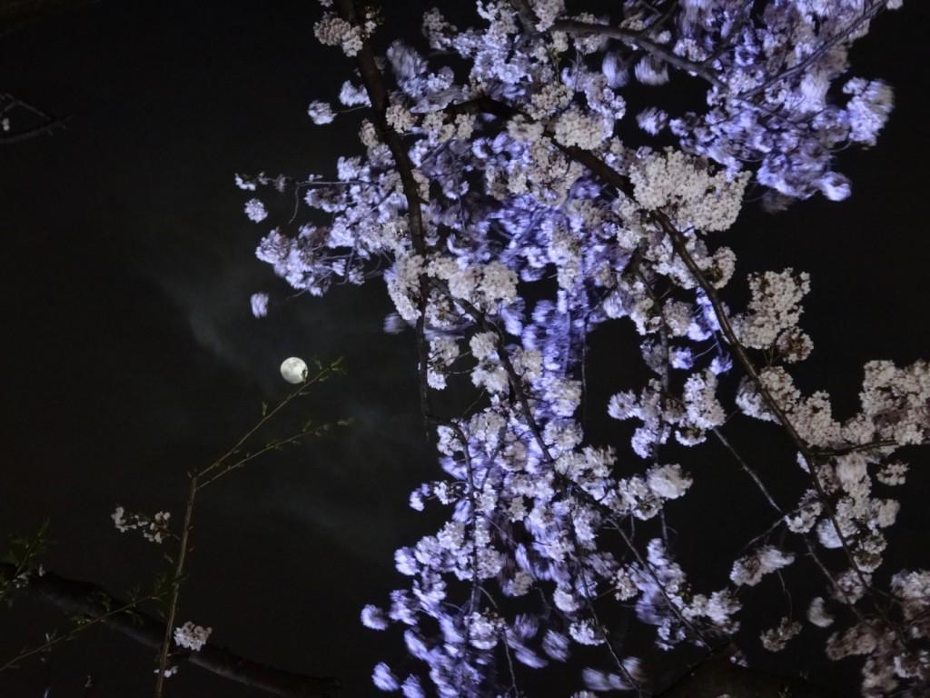 桜と月の競演